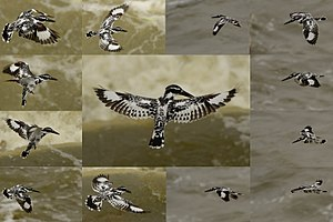 PIED KINGFISHER COLLAGE copy.jpg