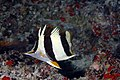 PMNM - New Butterfly fish Species (29894801992).jpg