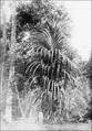 PSM V73 D205 Screw pine or monocotyledon of genus pandanus.png