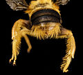 Pachymelus bicolor, m, backend, madagascar 2014-08-06-13.41.22 ZS PMax (14988211065).jpg