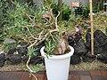 Pachypodium bispinosum3.jpg