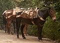 Pack Mules Waiting (15755930793).jpg