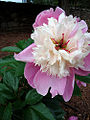 Paeonia 'Bowl of Beauty'.jpg
