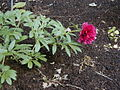 Paeonia officinalis Rubra Plena.jpg