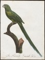 Palaeornis docilis - 1796-1808 - Print - Iconographia Zoologica - Special Collections University of Amsterdam - UBA01 IZ18500043.tif