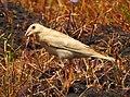 Pale rockfinch (ഇളം പാറക്കുരുവി ) - 6.jpg