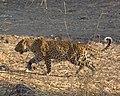 Panthera pardus suahelica; October 2015.jpg