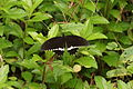 Papilio Polytes male 05297.JPG