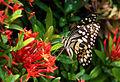 Papilio demoleus demoleus bytreef.jpg
