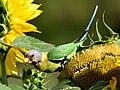 Parakeet Sunflower IIT Mandi Himachal Jun20 D72 16045.jpg