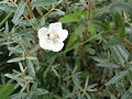 Parnassia palustris - Sumpf-Herzblatt - La Parnassie - Grass of Parnasis - Blüte mit Grün.JPG