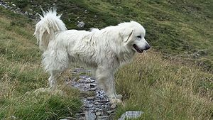 Great Pyrenees - A Great Pyrenees in the mountain