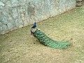Peacock طاووس - panoramio.jpg