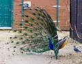 Peacock at The Magnetic Hill Zoo, Moncton, New Brunswick, Canada (40419485522).jpg