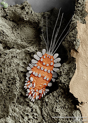 SEM image of Tuckerella sp., A parasite of tropical citrus plants, magnified 260 times (subsequently colored for illustration)