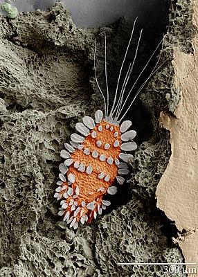 REM-Aufnahme von Tuckerella sp.,einem Parasiten tropischer Zitruspflanzen, bei 260-facher Vergrößerung (zur Illustration nachträglich eingefärbt)
