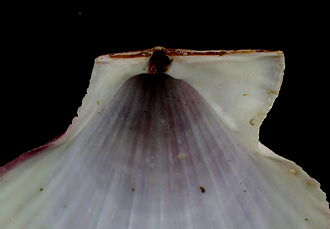 Ligament (bivalve) - This interior view of the hinge line of a scallop shell Pectinidae shows the internal ligament, located in the resilifer.