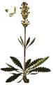 Pedicularis sceptrum-carolinum, Flora Danica 26.png