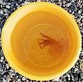 Pelagia noctiluca morente in secchio giallo - Noli.jpg