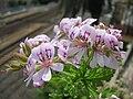 Pelargonium-graveolens2.JPG