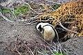 Penguin colony in Hermanus 10.jpg