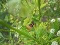 Pentatomidae roja y negra base.JPG