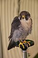Peregrine Falcon, Cheshire Game and Country Fair 2014 1.jpg