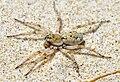 Perhaps a Tetralycosa (F Lycosidae)? (4364606780).jpg