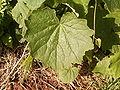 Pericallis papyracea (Barlovento) 02.jpg