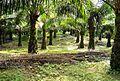 Perkebunan kelapa sawit milik rakyat (30).JPG