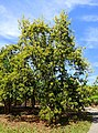 Persea americana - Fruit and Spice Park - Homestead, Florida - DSC08860.jpg
