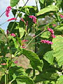Persicaria orientalis (21390060669).jpg