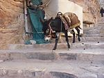 Petra - Enslaved donkeys. (9779008081).jpg