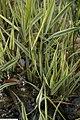 Phalaris arundinacea Picta 1zz.jpg