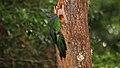 Pharomachrus mocinno - Savegre Costa Rica.jpg