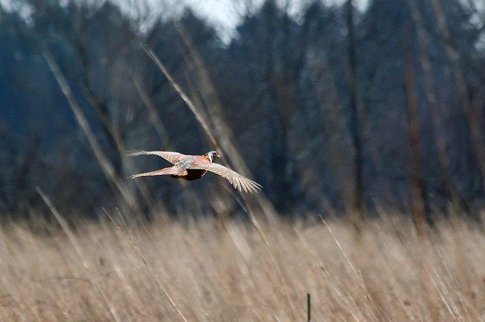 Pheasant 3858