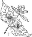 Philadelphus inodorus drawing 01.png