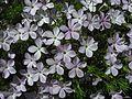 Phlox diffusa - Flickr - pellaea.jpg