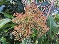 Photinia integrifolia at Mannavan Shola, Anamudi Shola National Park, Kerala (3).jpg