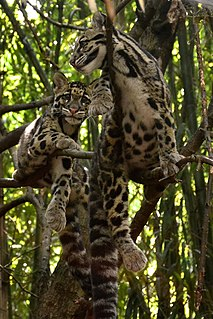 Prusten communicative behavior by some members of the Felidae family