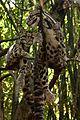 Photobomb Level- Clouded Leopard NashvilleZoo.jpg