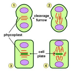 Phycoplast - Schematic representation of types of cytokinesis in the green algae: 1) Phycoplast formation with cleavage furrow (e.g. Chlamydomonas); 2) Cleavage furrow and persistent telophase spindle (e.g. Klebsormidium); 3) Phycoplast and cell plate formation (e.g. Fritschiella); 4) Persistent telophase spindle/phragmoplast with cell plate formation (e.g. Coleochaete)