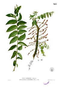 Phyllanthus acidus Blanco2.303