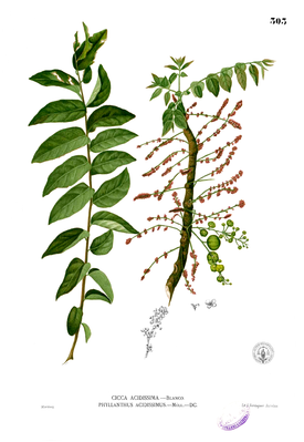 Illustration von Phyllanthus acidus