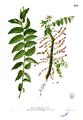 Phyllanthus acidus Blanco2.303.png