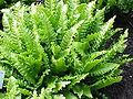 Phyllitis scolopendrium3.jpg