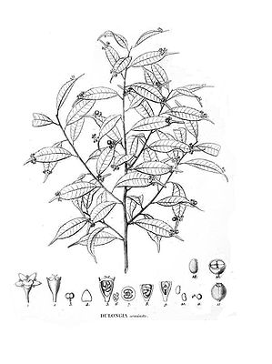 Phyllonoma ruscifolia, Illustration