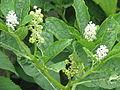 Phytolacca acinosa (14945836698).jpg