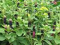 Phytolacca acinosa (20429095628).jpg