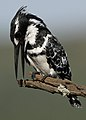 Pied Kingfisher, Ceryle rudis at Pilanesberg National Park, South Africa (15988982771).jpg